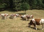 vaches au Lavancher.JPG